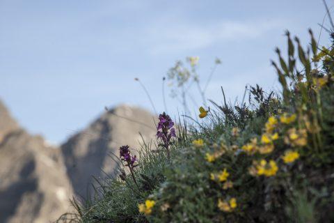 Bergblumen mit Kalkkögeln