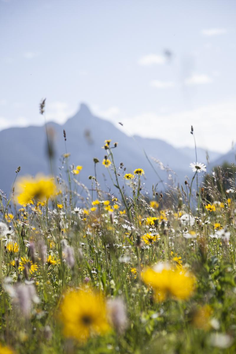 Blumenwiese in der Leutasch - Im Hintergrund die Arnplattenspitze (2.171m)