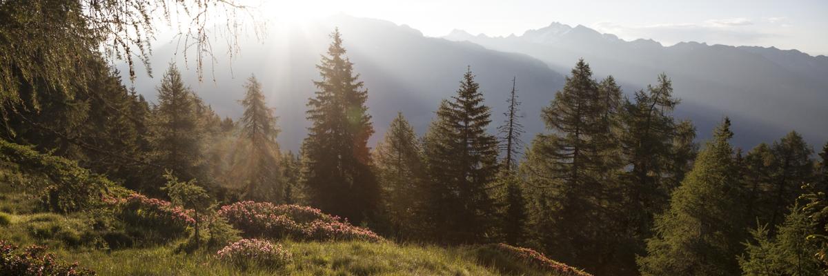 Almrosen an der Waldgrenze